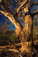 River red gum tree, Hattah_Kulkyne National Park, Victoria, Australia, Pacific