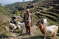 Indo-German-Changar-Eco-Development-Project, shepher Man-Singh with his sheep and goats on the street between Guana and Groudi, Palampur, Himachal Pra...