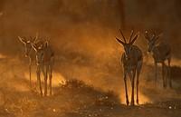 Springboks, Kgalagadi Transfrontier Park, South Africa, Antidorcas marsupialis