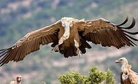 Griffon vulture (Gyps fulvus), landing