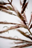 Water droplets on grass, Dali, Yunnan, China, Asia
