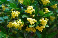 Strawberry tree (Arbutus unedo), flower clusters
