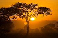 The sun setting behind an acacia tree, Tarangire National Park, Tanzania