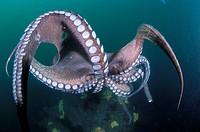 Eastern Atlantic Galicia Spain Octopus Octopus vulgaris