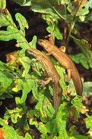 Freshwater Oitaven river Galicia Spain Palmate newt Triturus helveticus: female + male