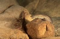 Freshwater Ausente lake Leon Spain Palmate newt Triturus helveticus: female + male
