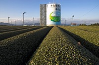 Carefuly trimmed rows of tea shrubs in front of water tower with tea logo, Kanaya, Shizuoka area, Honshu, Japan, Asia