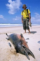 A Hiker observes a dead dolphin on the Cordoama beach, Costa Vicentina, Parque Natural do Sudoeste Alentejano e Costa Vicentina, Algarve, Portugal