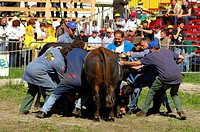Referees and aides attempt to seperate two fighting cows, Swiss cow fighting, Aproz, Valais, Switzerland