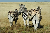Burchells Zebra (Equus burchelli) group resting