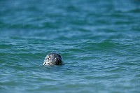 Gray seal grey seal, Halichoerus grypus, Heligoland, Germany, Europe