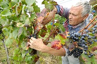 Austria Burgenland - winegrowing. Vintage with seasonal workers