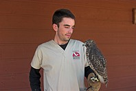 Volunteer with red-shouldered hawk (Buteo lineatus) in the Pelican Man Bird Sanctuary, Sarasota, Florida, USA