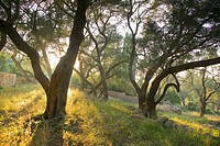 Evening light shining through olive trees, Paxos, Ionian Islands, Greek Islands, Greece, Europe