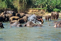 Elephants being washed near the Elephant Orphanage, Pinnawela, Sri Lanka, Asia