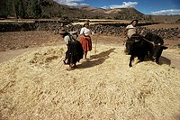Threshing wheat at Racchi, Cuzco area, High Andes, Peru, South America