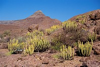 Euphorbias on red granite, Central Escarpment, Namibia, Africa