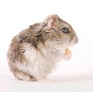 Hamster with food