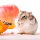 Hamster eat apple