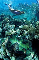 Snorkeller hangs above the reef in Marovo Lagoon, with giant clam in foreground, Solomon Islands, Pacific Islands, Pacific