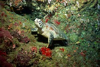Hawksbill turtle resting on ledge of reef, Sabah, Malaysia, Borneo, Southeast Asia, Asia