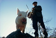 Man and his pig looking for truffles