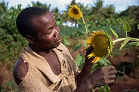 Head and shoulders portrait of man looking at sunflowers, Mozambique, Africa