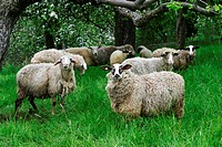 Sheep on a meadow with flowering fruit trees