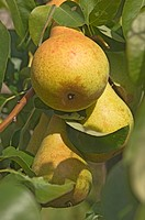 A trio of ripe pears