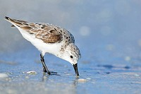 Sanderling (Calidris alba), in winter plumage, feeding. Sanibel Island, Florida, USA