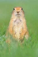 Black_tailed Prairie Dog (Cynomys ludovicianus). Windcave N.P., South Dakota, USA