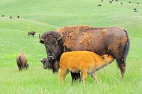 American Bison/Buffalo (Bison bison), Young/Calf with Mother/Cow. Custer State Park, South Dakota, USA.