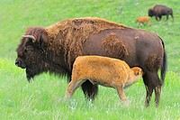 American Bison/Buffalo (Bison bison), Young/Calf with Mother/Cow. Custer State Park, South Dakota, USA