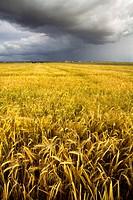 Summer storm on a landscape of cereal crops  Arcediano  Salamanca province  Castilla y Leon  Spain