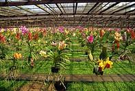 Orchid farm, Chiang Mai, Thailand, Southeast Asia, Asia
