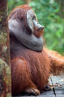 Alfa Male Orangutan in Borneo