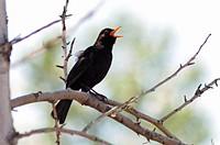 A male Blackbird Turdus merula singing