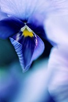 Hawaii, Close_up of purple/blue Pansy.