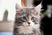 Maine Coon cat _ kitten _ portrait