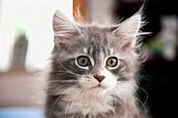 Maine Coon cat _ kitten _ portrait