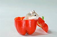 Roborovski hamster in red capsicum / Phodopus roborovskii restrictions: Tierratgeber_Bücher, Kalender / animal guidebooks, calendars