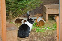 dutch dwarf rabbit and guinea pigs