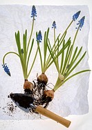 grape hyacinths with bulb