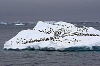 Adelie Penguin (Pygoscelis adeliae) resting on iceberg, Antarctica