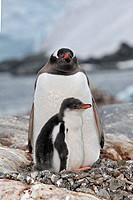 Gentoo Penguin(Pygoscelis papua papua). Port Lockroy, Antarctica