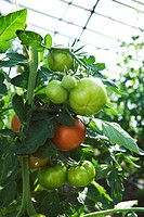 Tomatoes growing in greenhouse, close-up