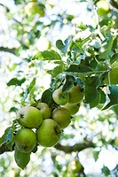 Organic apples growing on branch