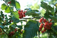 Clusters of red berries growing on a branch