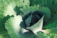 Cabbage, extreme close-up