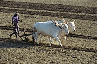 Sri Lankan farmer plowing field with yoked zebu